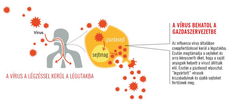 influenza vírus hatásmechanizmusa, szaporodása
